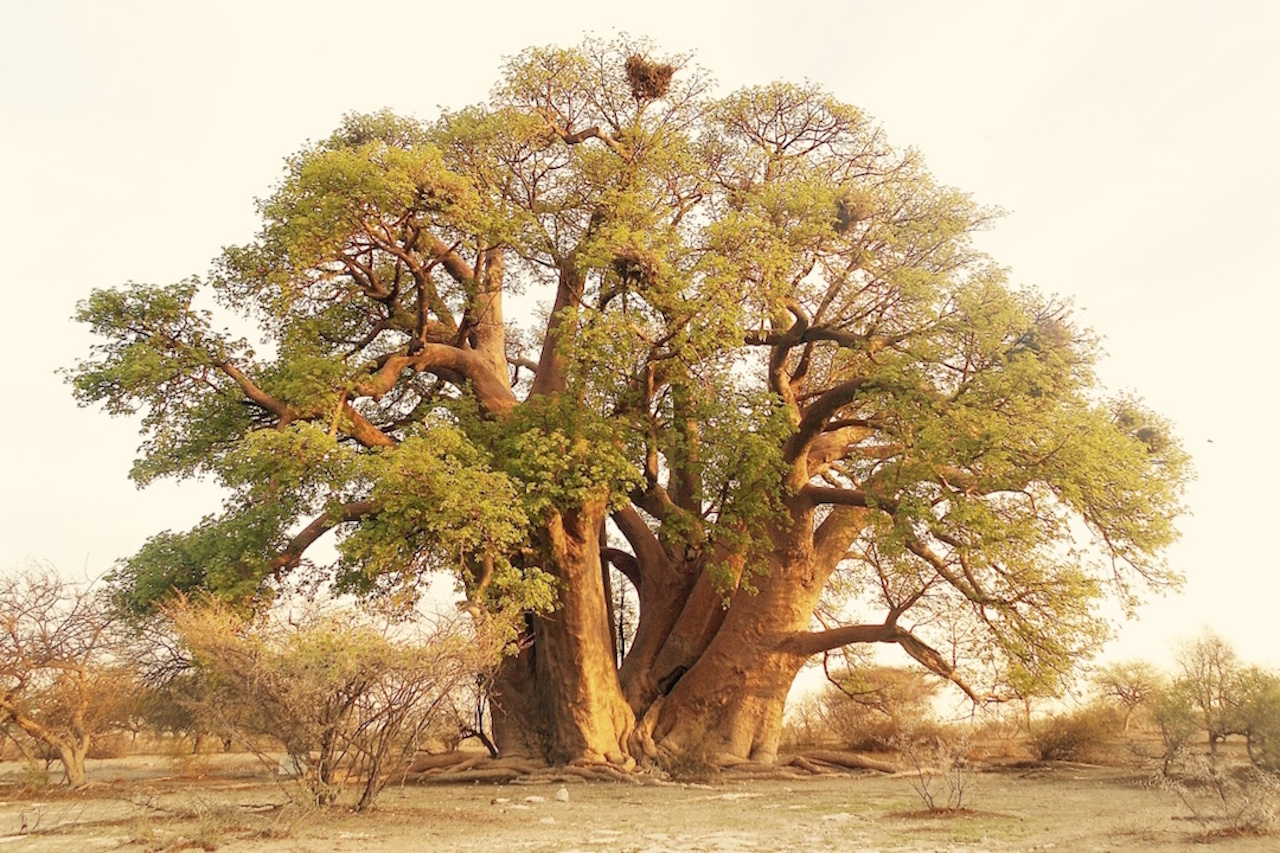 Chapman's baobab in the Kalahari desert.