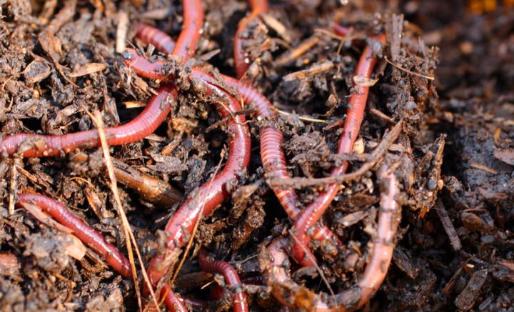 Composting red wriggler worms. © Depositphotos.com/Mikhail Kokhanchikov