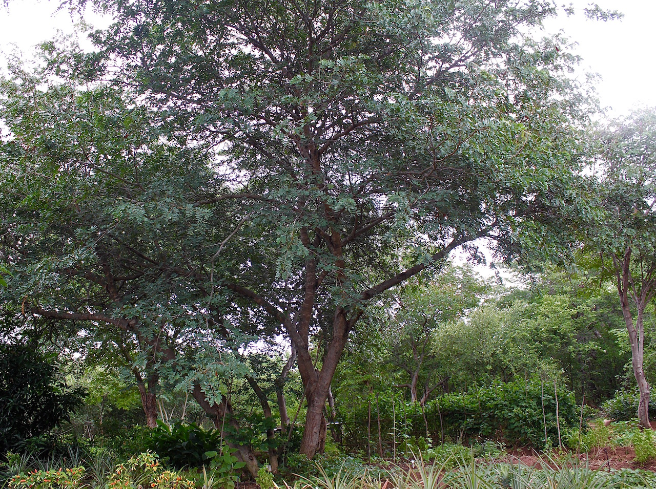 We use our indigenous trees for shade, especially in the hot, wet summer.