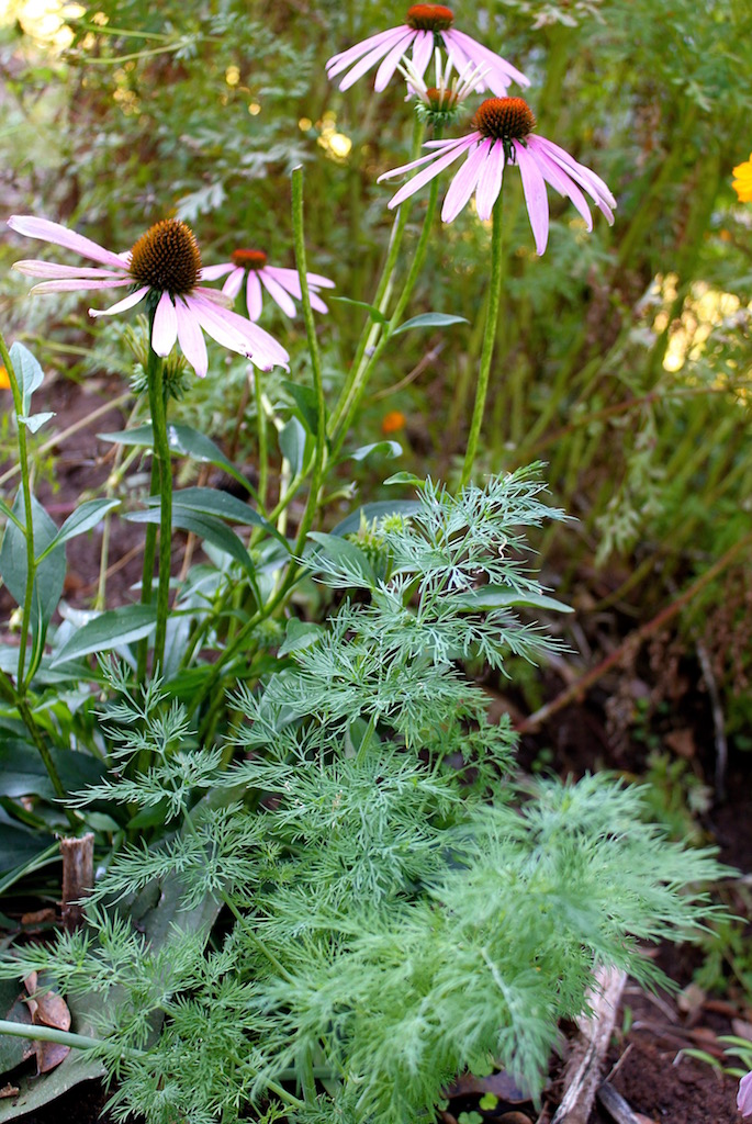 Echinacea next to the dill. While echinacea attracts butterflies, birds and bee, the flower heads of dill are a terrific nectar sources for beneficial insects. Dill also repels many of the bad bugs like aphids.