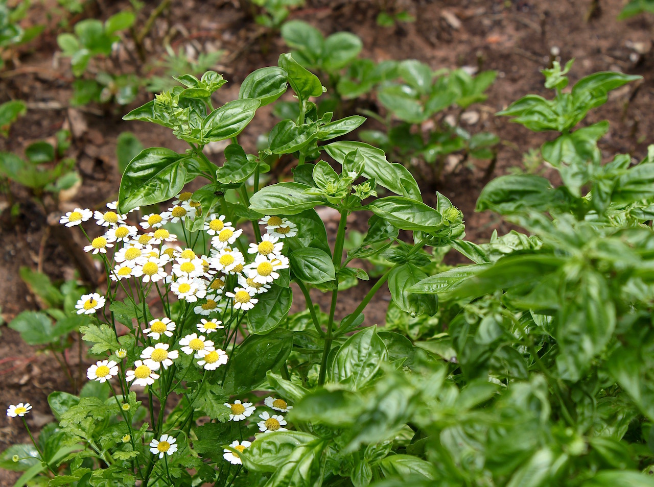 Pyrethrum is a natural pesticide, while basil repels insects with its strong smell.