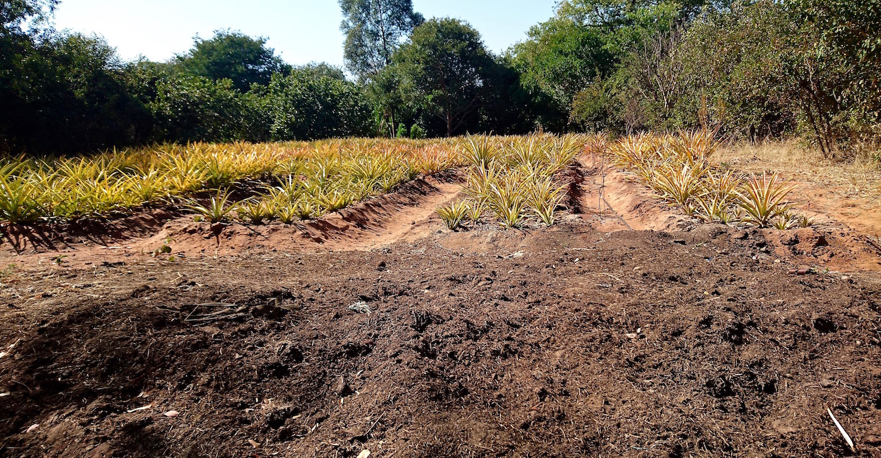 Elephant dung soon to be dispersed among the pineapple plantation.