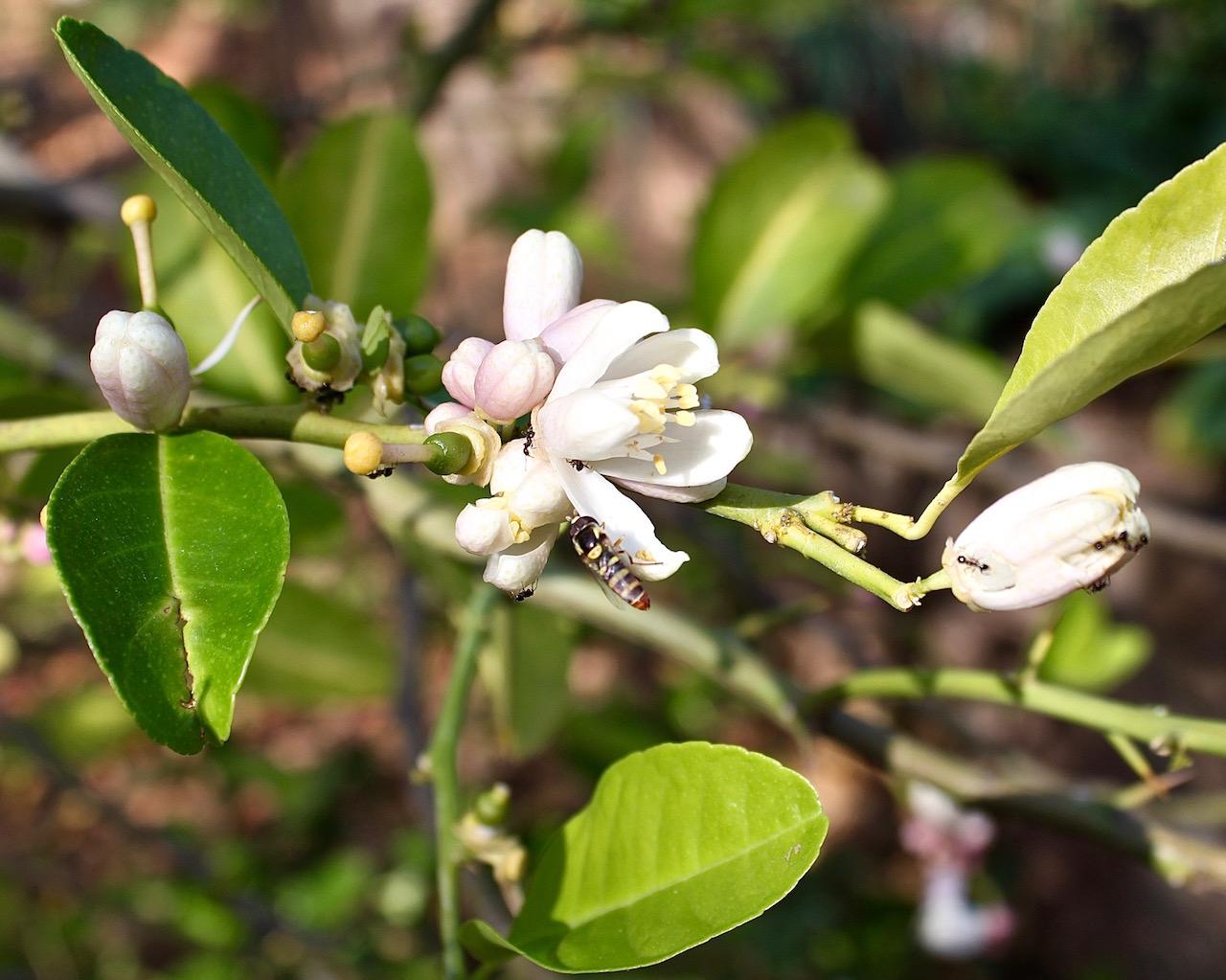 Edible flowers - lemon blossom 2