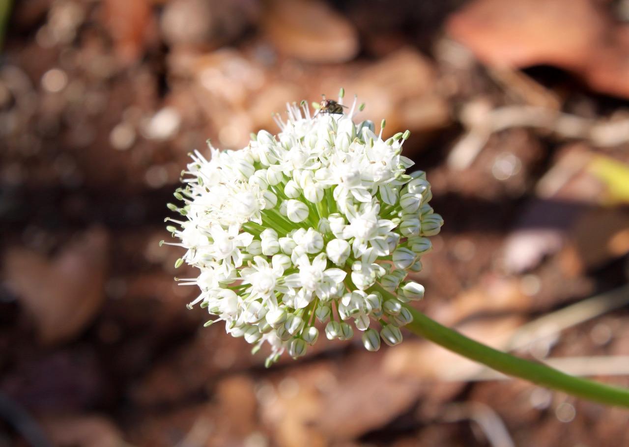 Edible flowers - onion 1