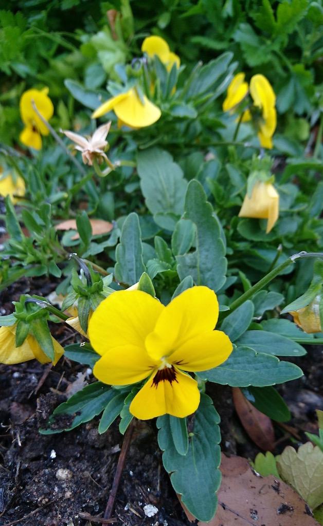 Edible flowers - violas 2