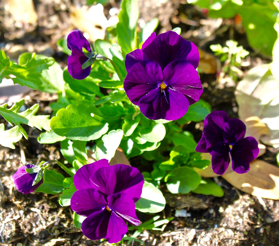 Edible flowers -violas
