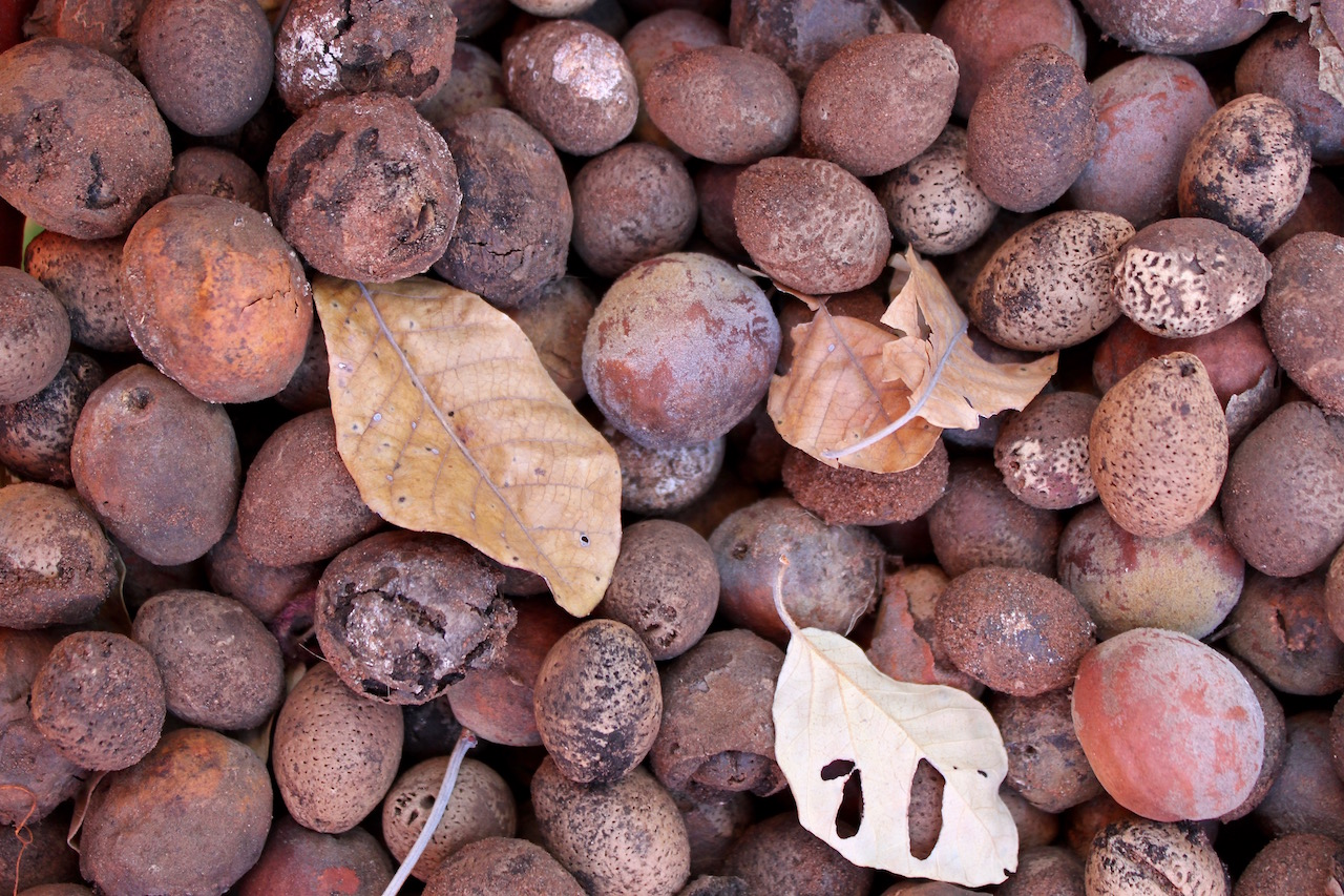 Mongongo nuts, as they are when it's time to forage, having falling from the tree and left to go hard.